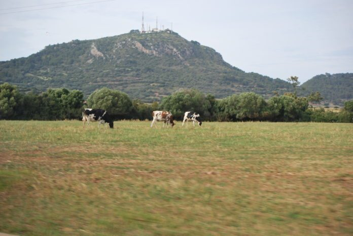 Weidende Kühe vor dem Monte El Toro, Menorca